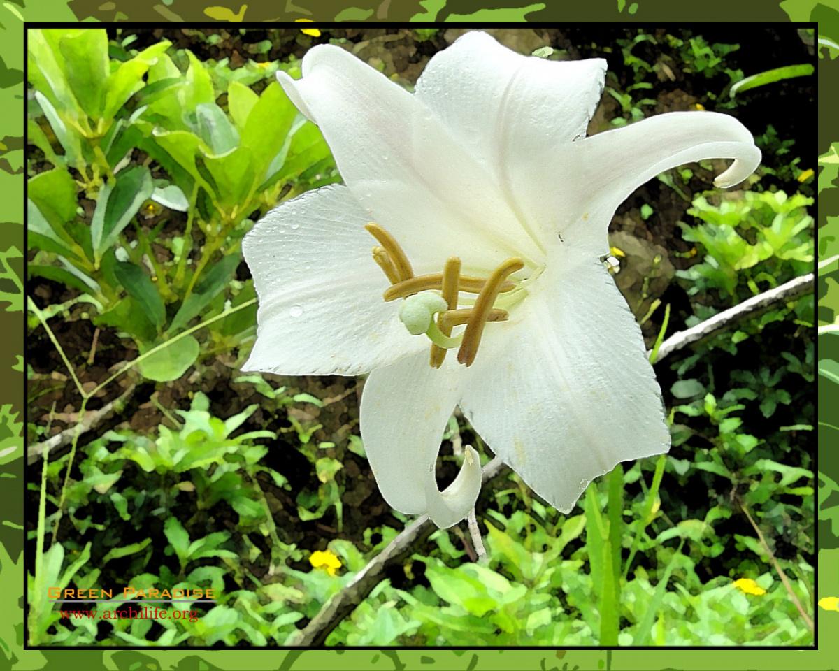 Longflower Lily