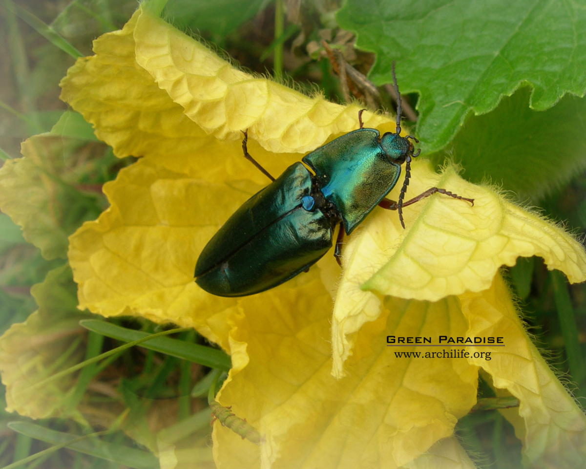 Jewel Click Beetle
