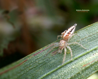 Colorful jumping spider - 2