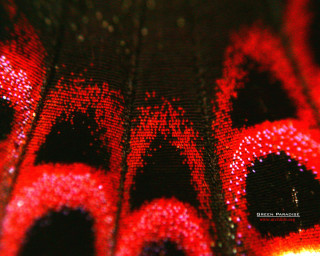 Butterfly wing under a microscope - 2