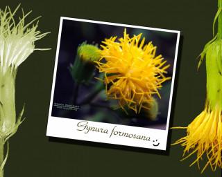 White Gynura
