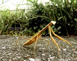 Praying Mantis - 2