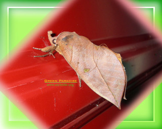 Leaf-like moth
