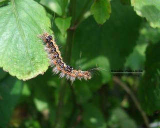 Taiwan yellow tussock moth