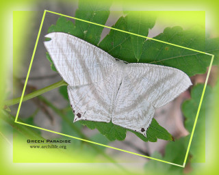 Wings white and black spots