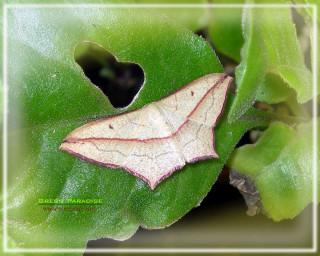 Geometer moth - 3