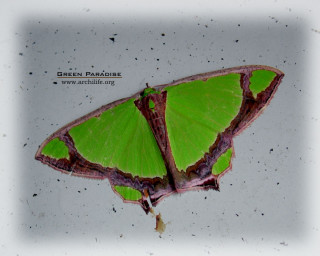 Geometer moth - 2