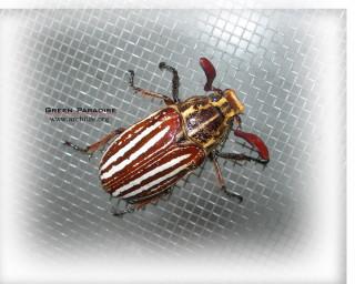 Scarab beetle - 2