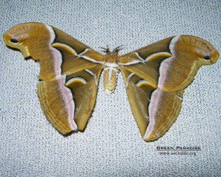 Lesser Atlas Moth