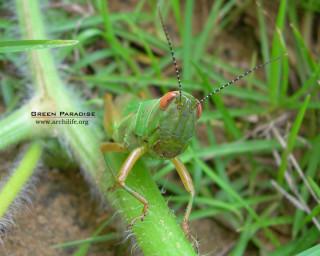 Grasshopper - 5