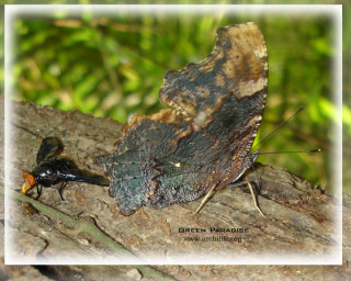 Four-footed butterfly and its friend