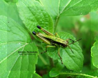 Grasshopper - 6