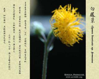 gynura flowers